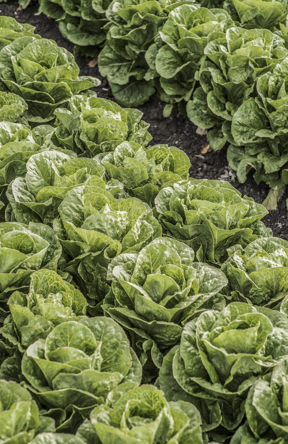 Farmer in field of lettuce